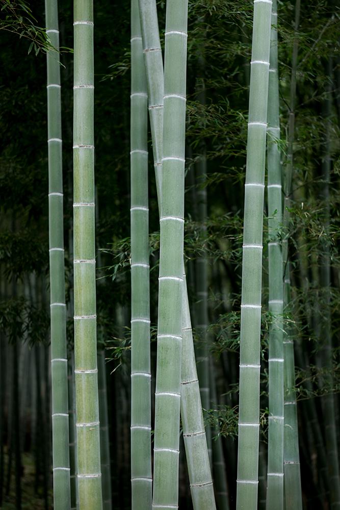Bamboo, Arashiyama Bamboo Grove. Japan.